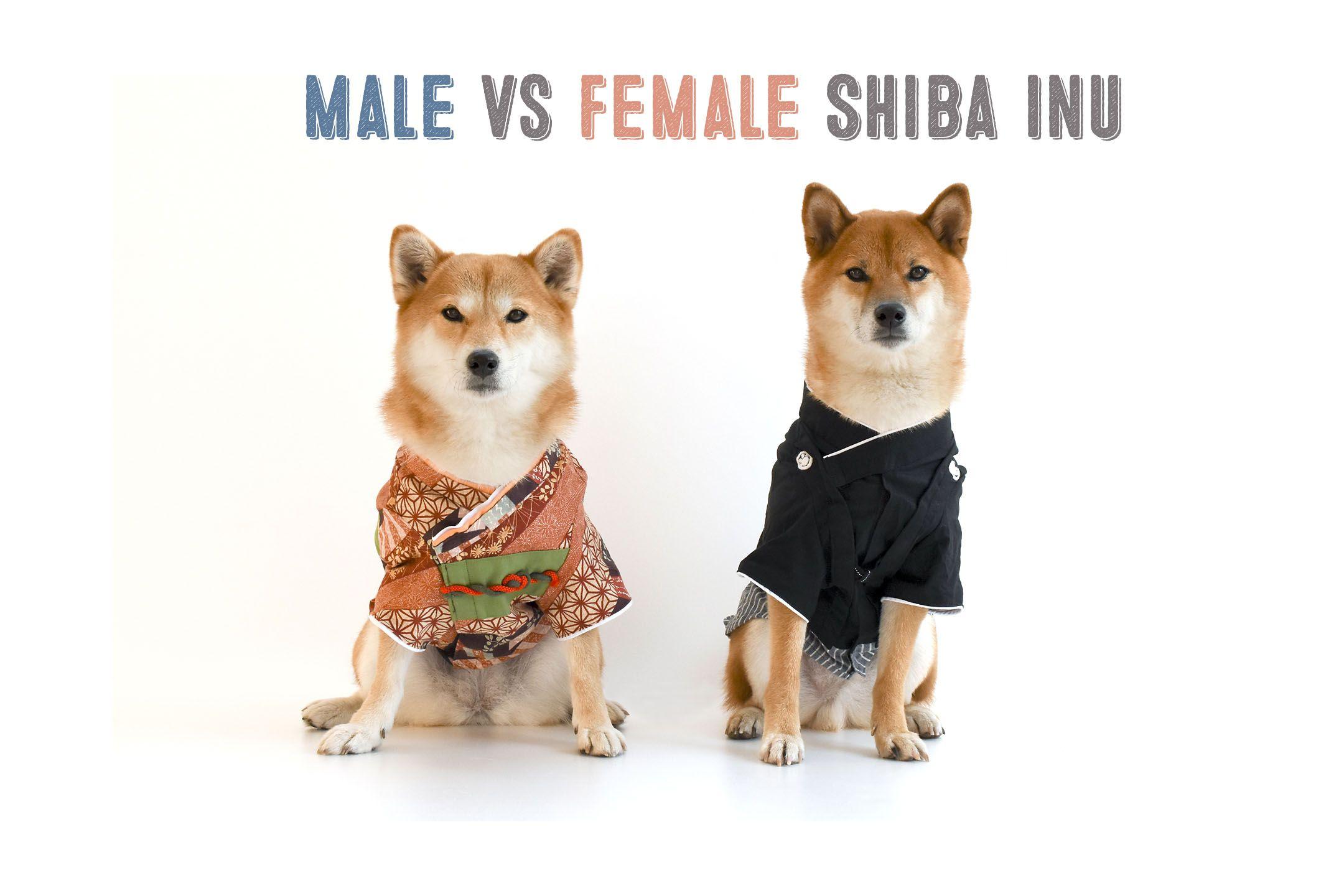 Male Vs Female Shiba Inus My First Shiba Inu Shiba Inu Shiba Inu Dog Shiba Inu Puppy