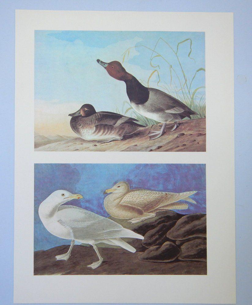 Audubon Vintage Bird Print Redhead Glaucous Gull Audubon
