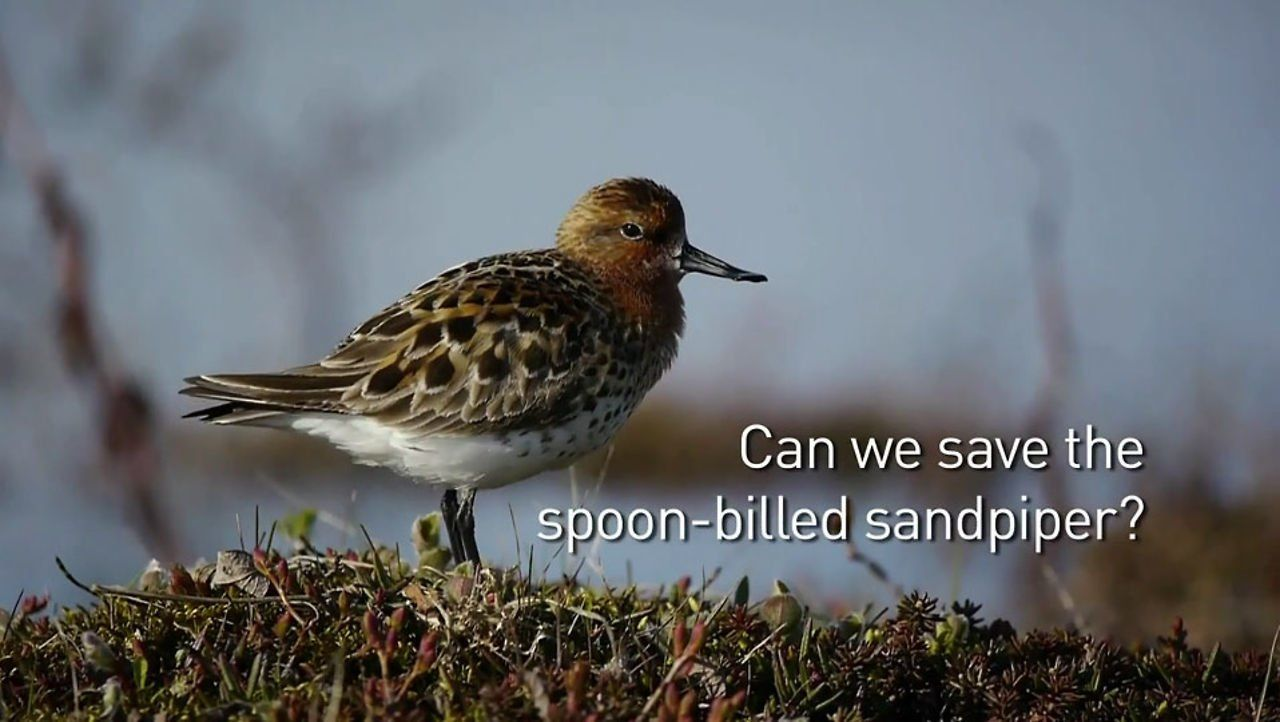 Saving the Spoon-billed Sandpiper, Calidris Pygmea, is a small wading bird which breeds in NE Russia and winters in SE Asia. It nests in June and July in coastal areas in the tundra. The breeding adult bird is 14 to 16 cms long and has a red-brown head, neck and breast with dark brown streaks. The species most prominent feature is its spatulate bill. Estimated to be only 100 breeding pairs in the wild, IT IS IN IMMINENT DANGER OF EXTINCTION!! ...please watch this beautiful video.