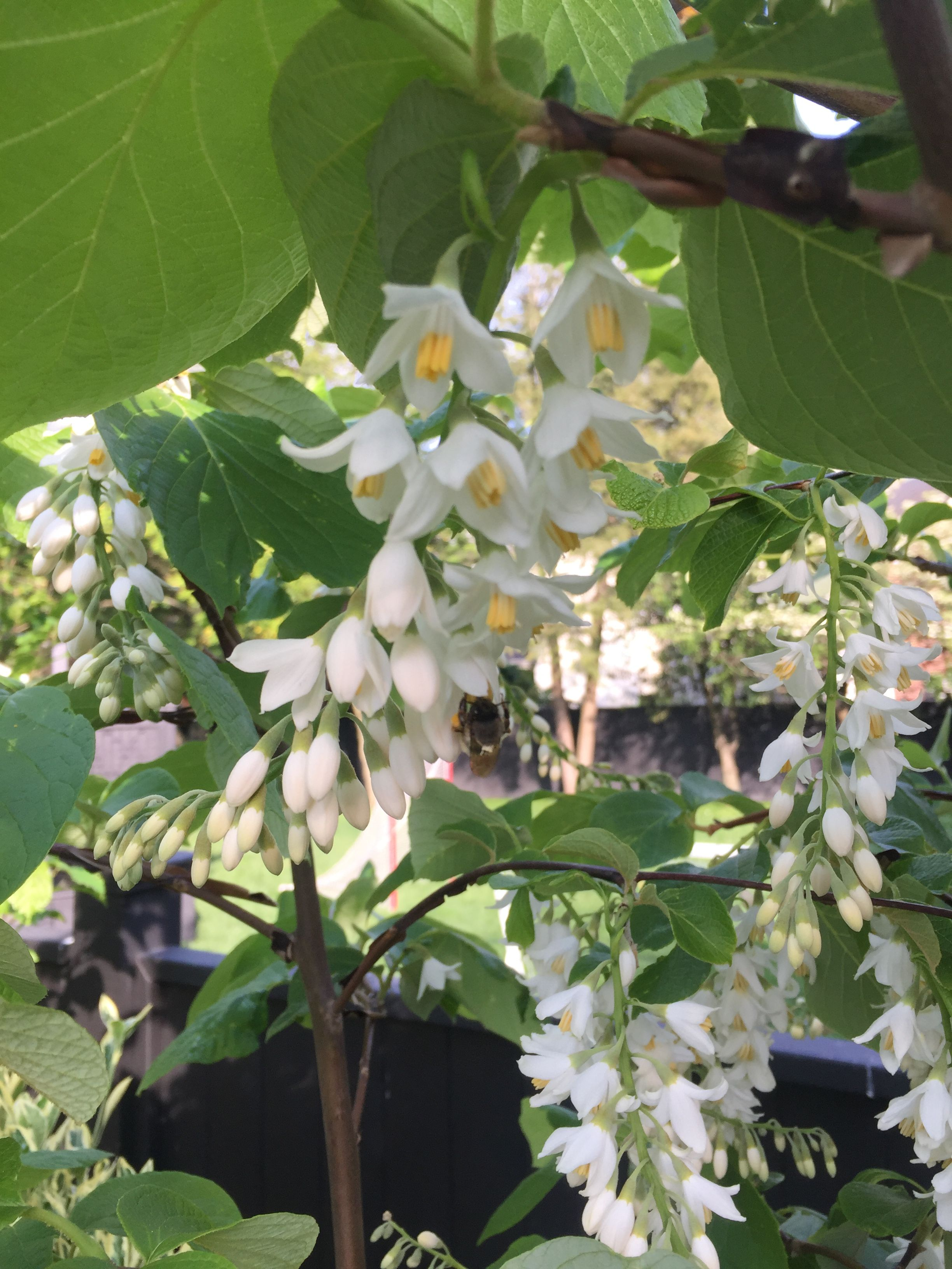 Fragrant Snowbell Styrax obassia Showy, Hardy Tree Seeds