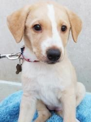 Kate has been adopted! Kate is an adoptable Shepherd Dog in Detroit, MI. Kate and her two littermates were taken in by our rescue before they were going to be randomly given away. They are all very sweet and lovable. Birth ...