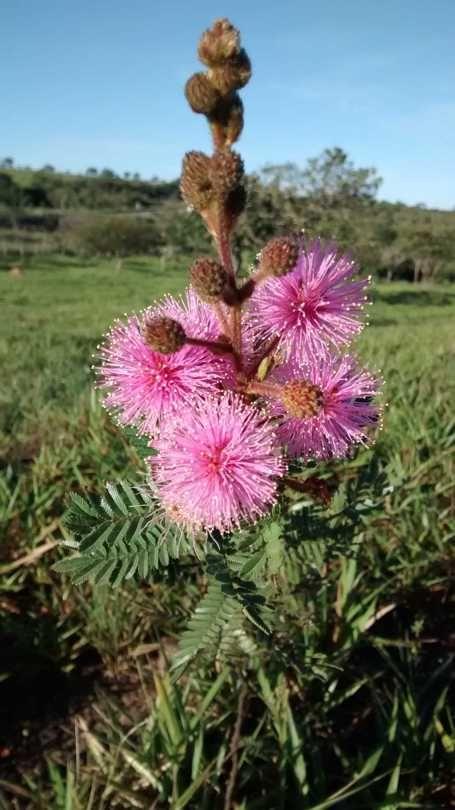 Flores Do Serrado Com Imagens Flores Do Cerrado Flores