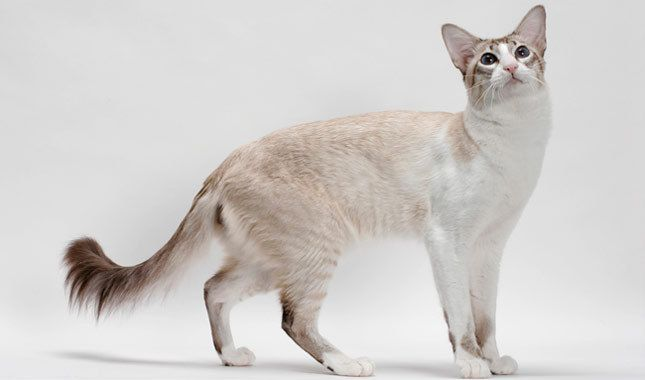 Balinese Cat Breed Information Balinese cat, Cat breeds