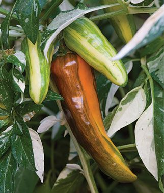 Heirloom hot pepper called 'Fish' we will be offering in the spring of 2014. I love the variegation and stripes and can picture it in a planter with some purple basil and orange calendulas.