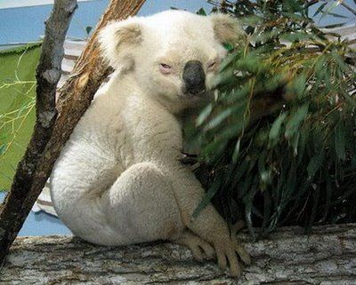 A rare white koala an albino koala would not have a black nose and would have red eyes