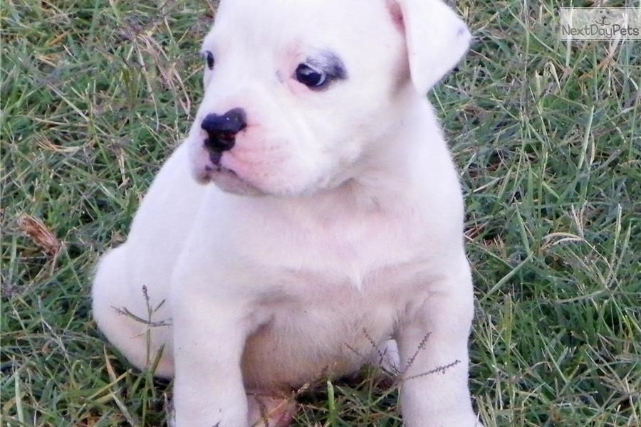 Meet Rocky A Cute American Bulldog Puppy For Sale For 1 275 Awesome Big Guy Bulldog Puppies For Sale American Bulldog Puppies American Bulldog