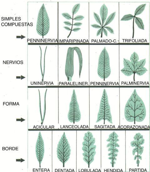 Clases de hojas plantas cactus plants nature tree y for Tipos de arboles y sus caracteristicas