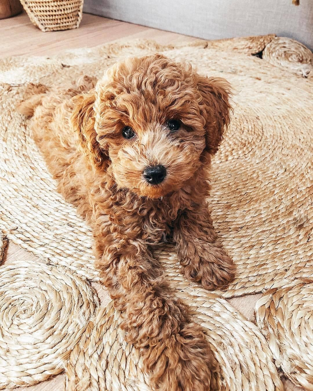 See Want Shop Blogger Pretzel Poochon Puppy Caramel Dog Dog