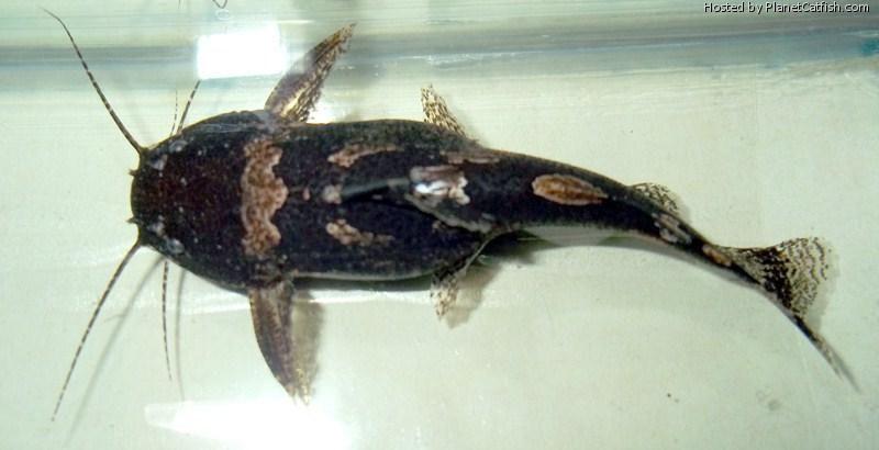 South American Bumblebee Catfish Profil Information Goodmorning Catfish Fishing Catfish Tank Catfish