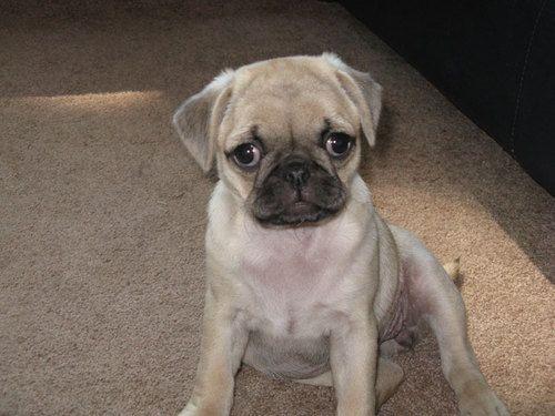 Presh Pug Loving Chug Puppies Puppies Puppy Pictures