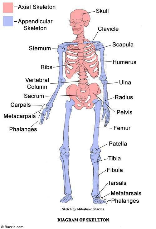 Facts About The Skeletal System Anatomy Project Pinterest