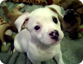 Australian Shepherd Boxer Mix Puppies Adopted Adopted