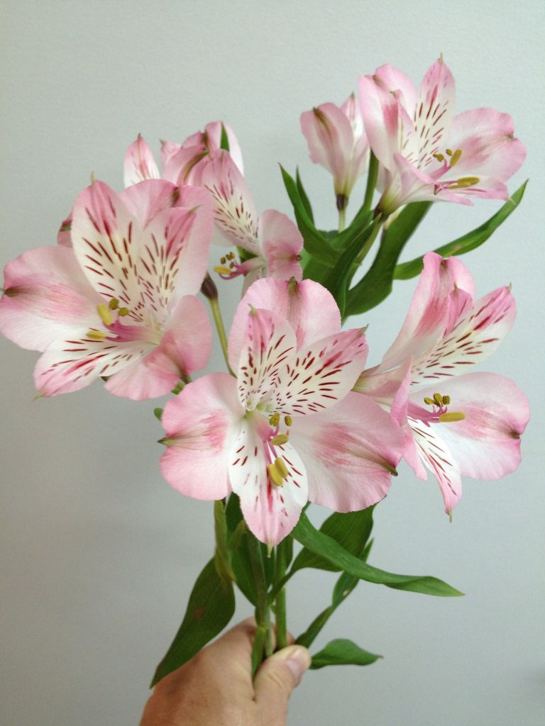 Light Pink Alstroemeria With Images Pink Wedding Flowers Yellow Wedding Flowers Wedding Flowers Roses