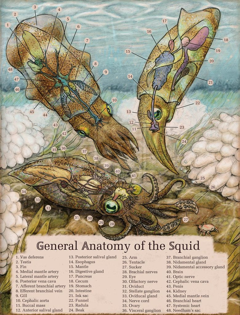 Squid Anatomy by *Banvivirie on deviantART | Apothecary | Pinterest ...