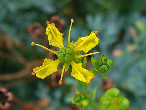 Ruta Graveolens Common Rue Medicinal Uses Edible Herb Repels Cats 2 It Is Also Good For Controlling Fleas And Anese
