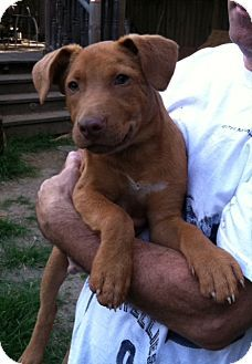Knoxville Tn Dachshund Mix Meet Olive A Dog For Adoption