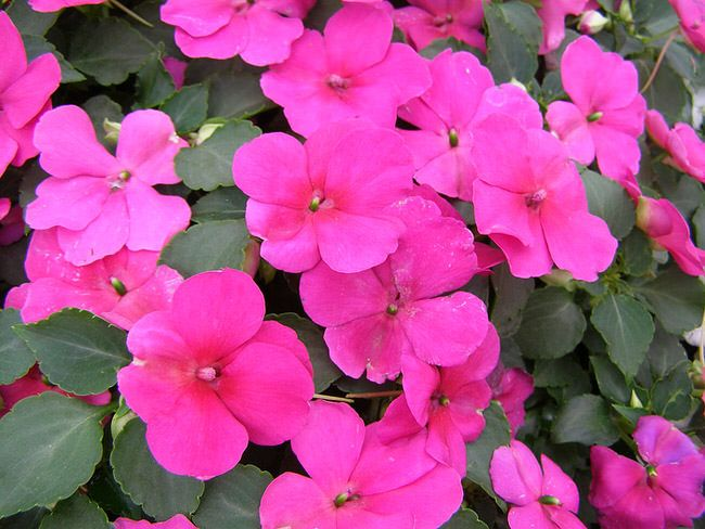 Perennials For Shade That Bloom All Summer Liquid fertilizer