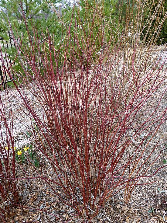 Shrubs With Winter Interest Winter Shrubs Red Twig Dogwood Twig Dogwood