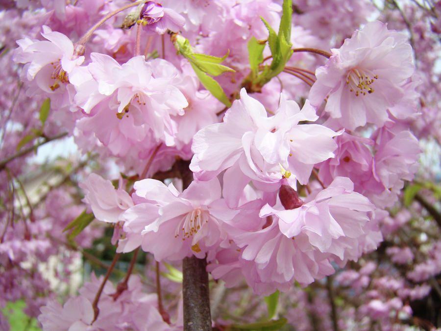 Pink Blooming Flowers Pink Flowering Trees Identification Pink