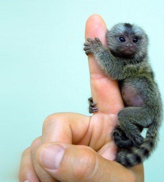Capuchin Monkey Pet Monkey Cute Baby Monkey Cute Animals