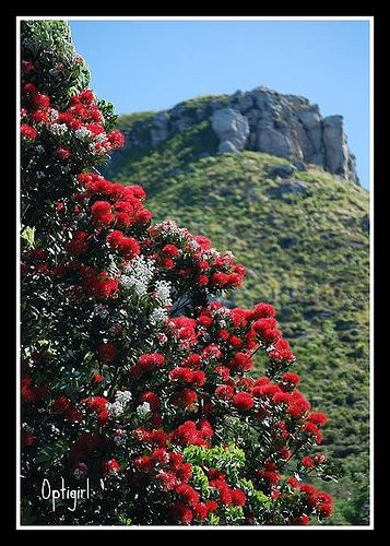 Pohutukawa and the Mount Native Christmas Tree, New Zealand, by Susan Sharpes