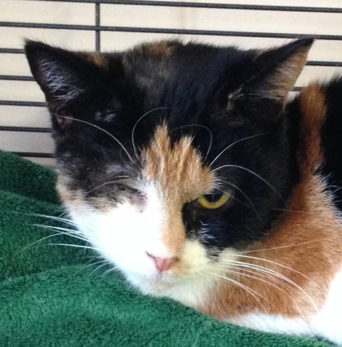 Crinkle is an adoptable Domestic Short Hair searching for a forever family near New Windsor, NY. Use Petfinder to find adoptable pets in your area.