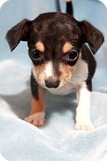 St Louis Mo Chihuahua Rat Terrier Mix Meet Danny Darling A