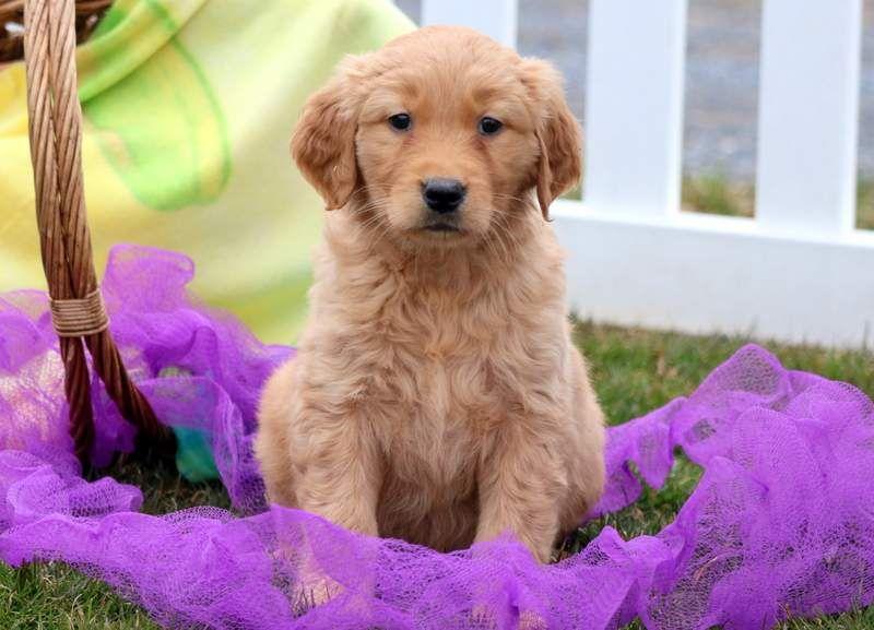 Golden Retriever Puppy For Sale In Mount Joy Pa Adn 71389 On Puppyfinder Com Gender Female Age 8 Weeks Old Puppies Puppies For Sale Big Puppies