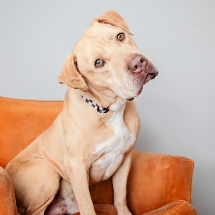 05 15 16 Mr Charlie Dog Labrador Retriever Senior Male