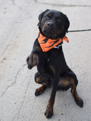 Brooklyn Center Ruler A1034467 Male Black Brown Rottweiler
