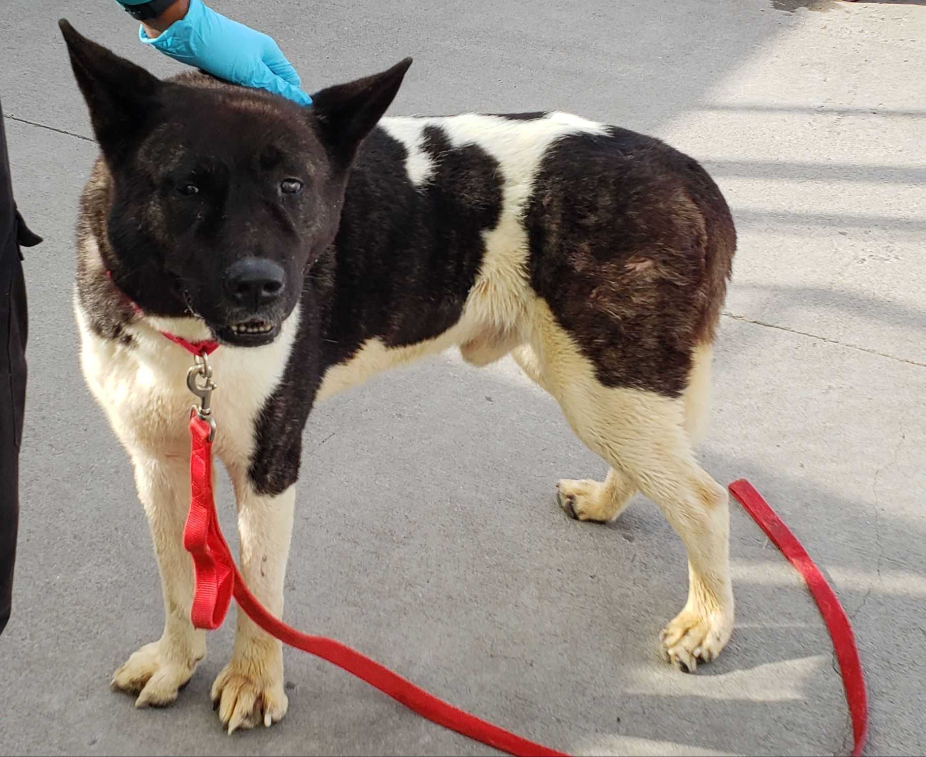 Champ ID 43418 Dog Brooklyn Animal Care Center newyork