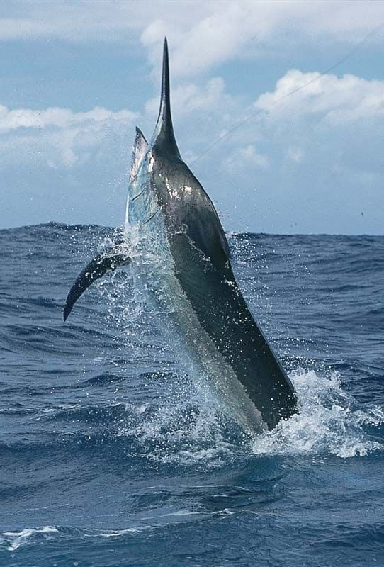 Вот такую рыбу можно попробовать поймать на Тенерифе http://turcanary.ru/ryibalka-na-marlina/