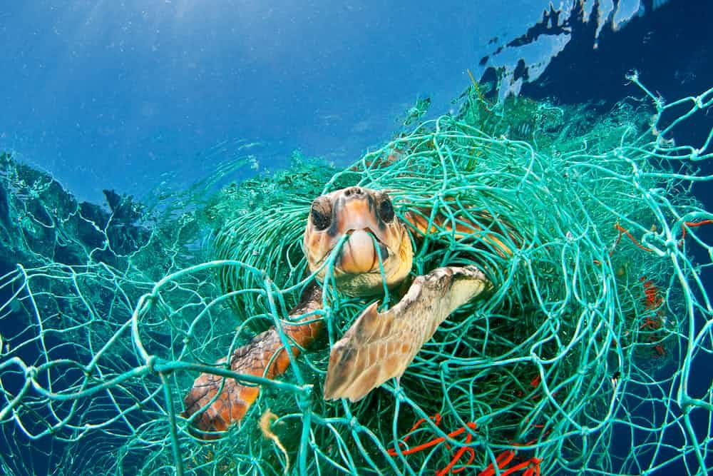 This turtle is having fun playing in discarded plastic netting which prevents it from reaching the surface and breathing. A loggerhead turtle trapped in a drifting abandoned net, Mediterranean Sea.