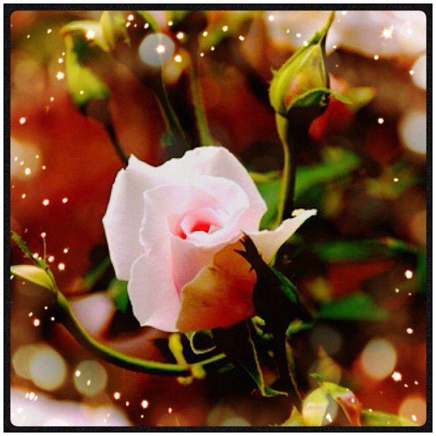 #autumn #roses #cameranapp #cameran