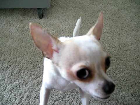 Hyper Dog Chihuahua Breakdance Dancing Going Crazy Cute After
