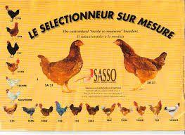 sasso chicken - Google Search | GUMBORO