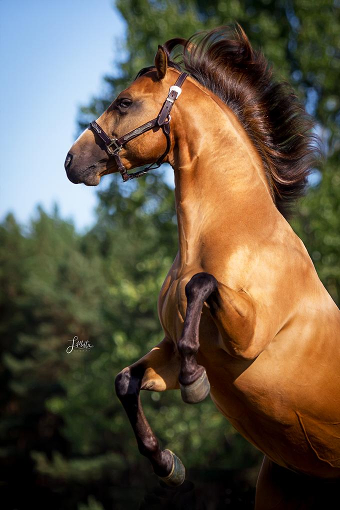 Steigender Hengst Im Abendlicht Hengst Quarterhorse Steigen Westernpferd Pferdeshooting Pferde Fotografie Pferdefotografie Niedliche Pferde