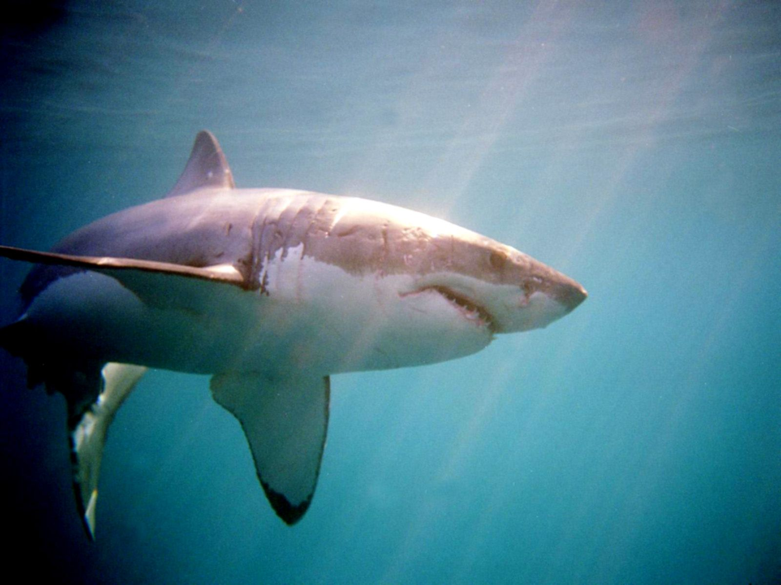 shark pics in high resolution Shark High Quality