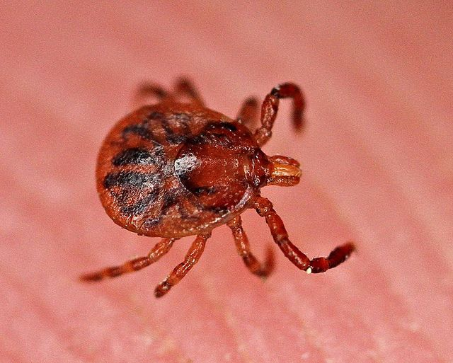The CDC announces the discovery of a new bacterial species that can cause Lyme disease.