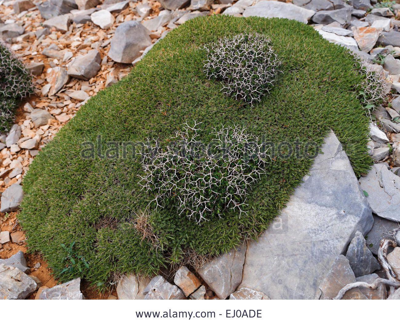 Thorn Bush Greek Spiny Spurge Thorn Cushion Plant Thorn Shrub