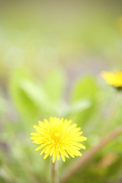 夢見るたんぽぽ by 愛と夢と希望のくら id 4330922 写真共有サイト photohito summer memories wonderful dream dandelion