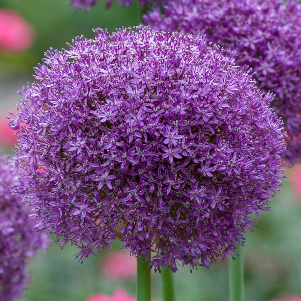 Allium Bulbs Item 6019 Globemaster For Sale Colorblends In 2020 Bulb Flowers Spring Flowering Bulbs Crocus Bulbs