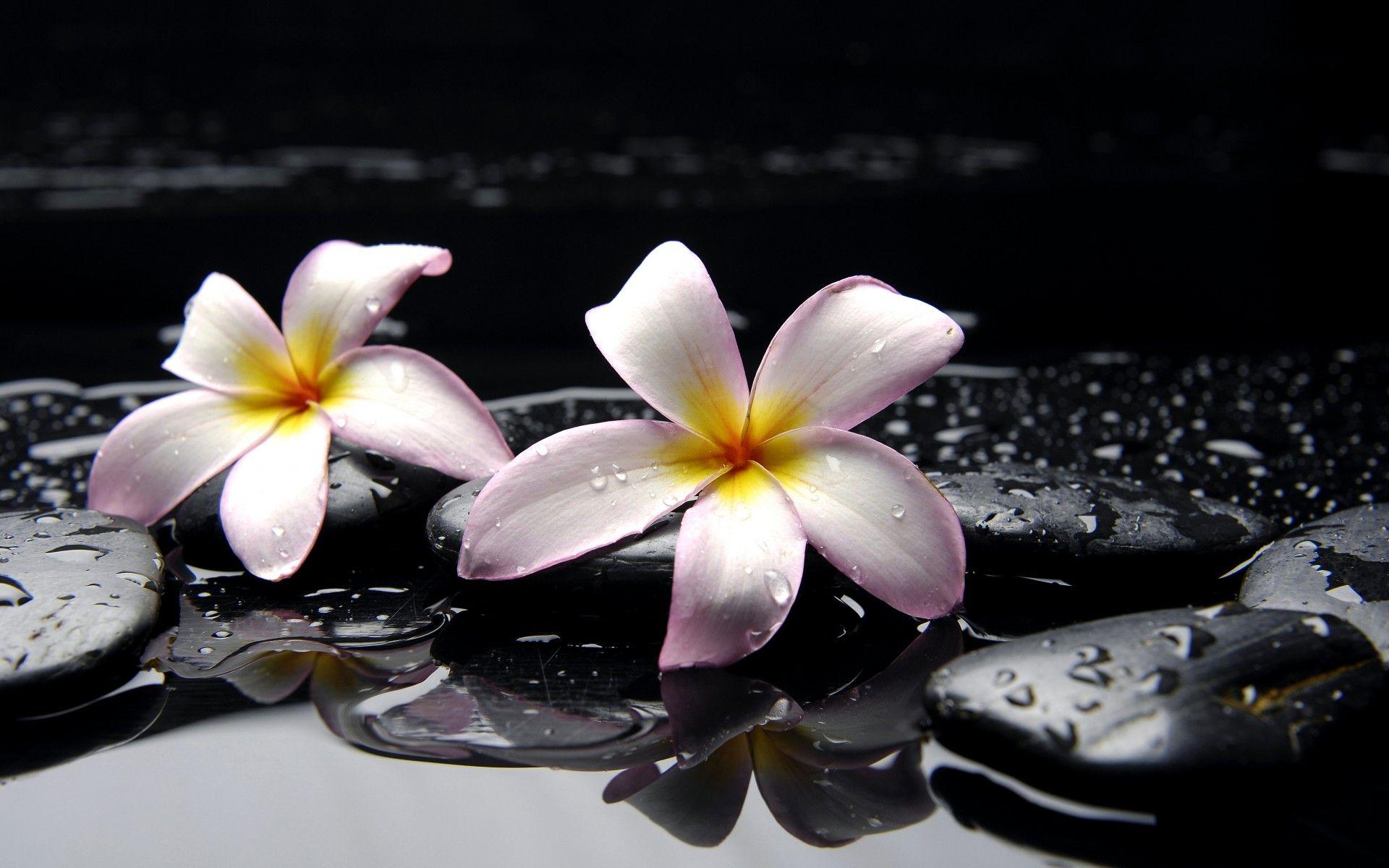 dark water wallpaper plumeria flowers wallpaper, pink