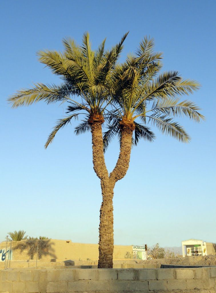 Twin Palm Chahvarz نخل دوقلو چاهورز Palm Trees Outdoor Landscaping Palm