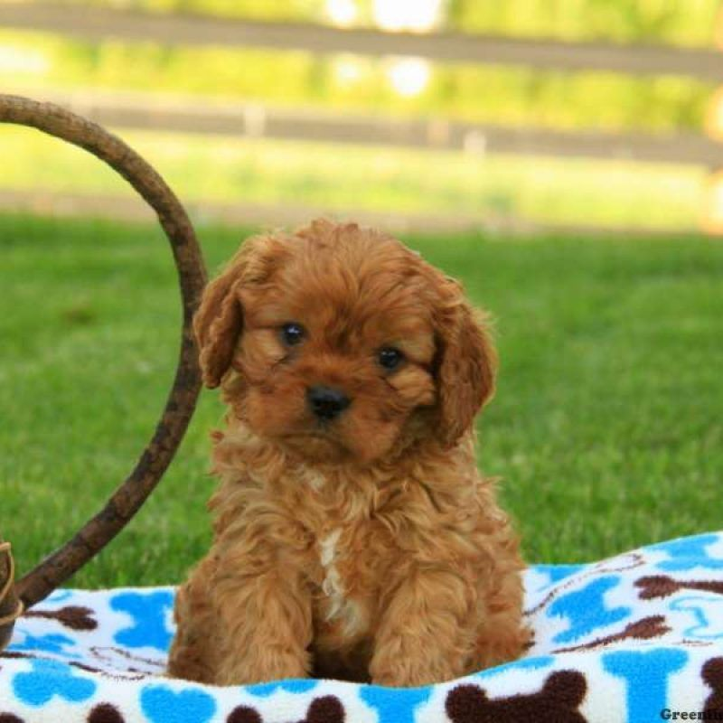 Cavapoo Puppies For Sale Cavapoo Dog Breed Info Greenfield