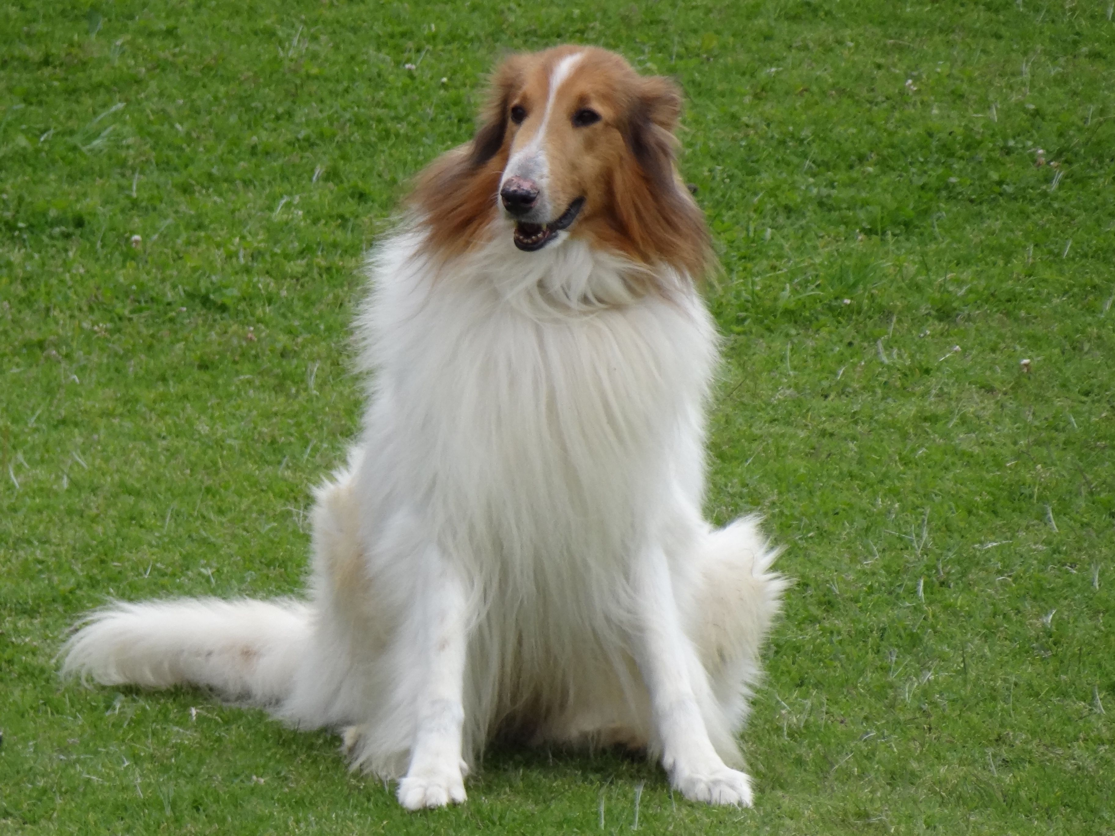 Collie Rough Breed Guide Learn About The Collie Rough
