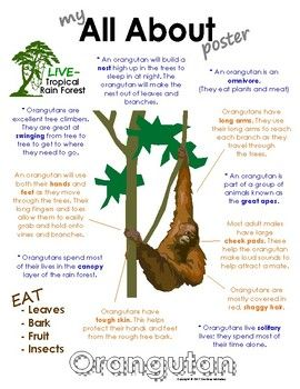 Image of: Wikipedia My All About Orangutan Book Tropical Rain Forest Jungle Animals Softschoolscom My All About Orangutan Book Tropical Rain Forest Jungle Animals