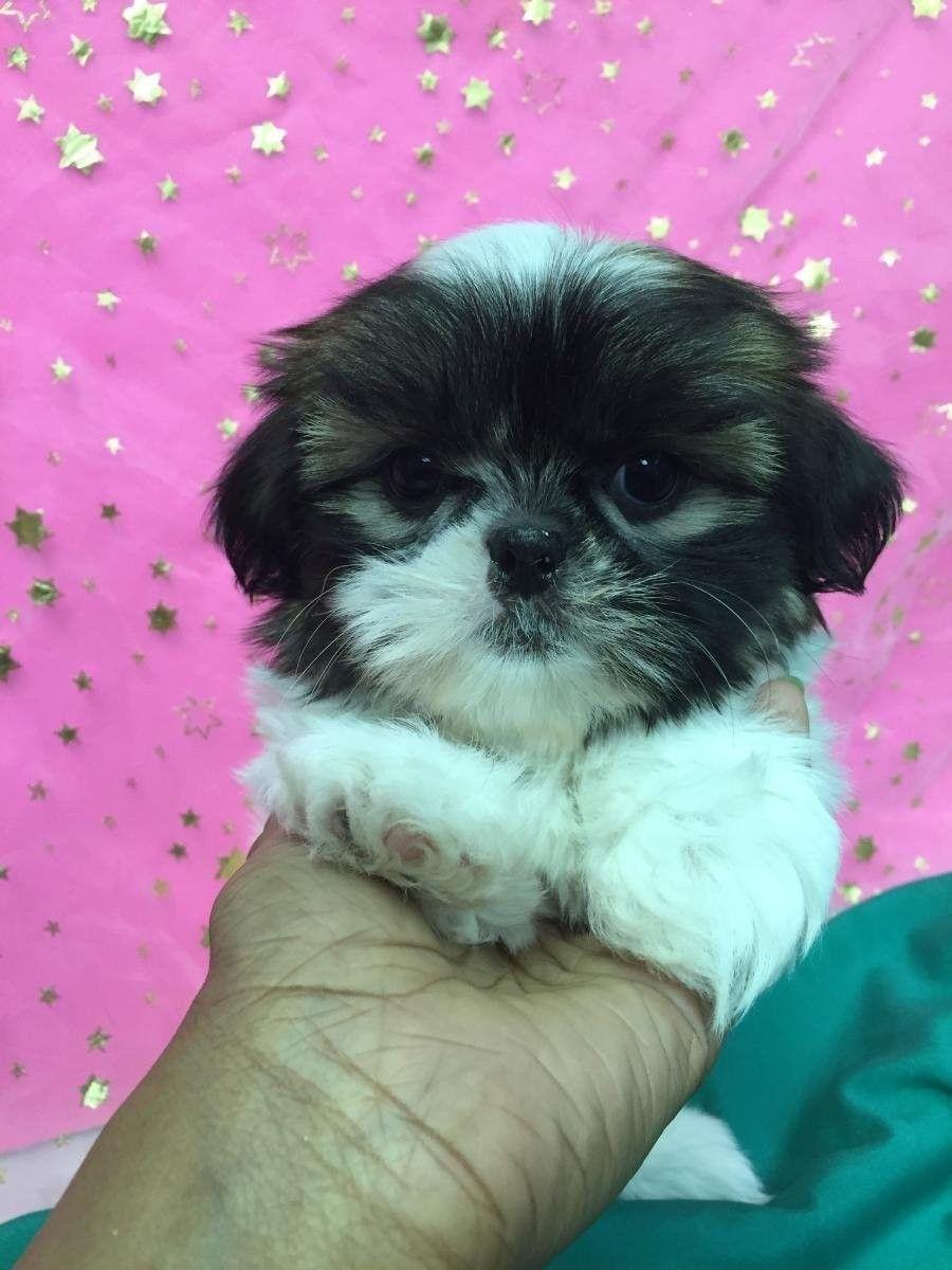 Nyc Shih Tzu Photos Shihtzu Shih Tzu Cute Dogs Shih Tzu Puppy