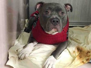 Manhattan center BRANDON – A1098051  NEUTERED MALE, GRAY / WHITE, AM PIT BULL TER MIX, 4 yrs OWNER SUR – ONHOLDHERE, HOLD FOR ID Reason TOO STRONG Intake condition EXAM REQ Intake Date 11/27/2016, From NY 10025, DueOut Date 12/05/2016,