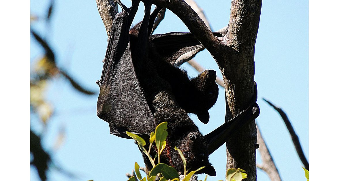 Guano, bat droppings, are highly toxic to humans. It takes